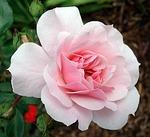 Sa'diyya pink rose