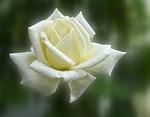 Sa'diyya white rose
