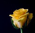 Sa'diyya yellow rose