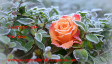 YMM Dec 2014 rose