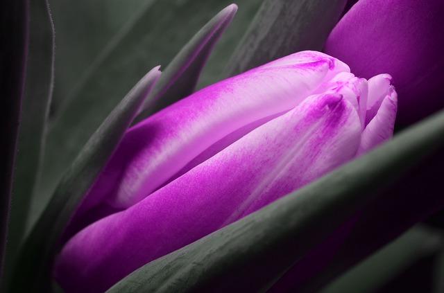 tulip-123795_640